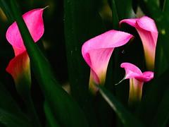 Hiding (Will.Mak) Tags: nature flower willmak pink calla white green olympus em1markii olympusm40150mmf28 40150mm f28 40150mmf28 zuiko