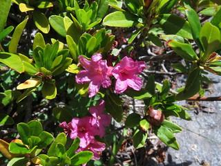 Rhododentron ferrugineum - Ericaceae