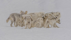 Huddle (KVSE) Tags: animals othermammals wolf pack wolfpack wolves huddle snow winter cold packofwolves parcomega omega omegapark