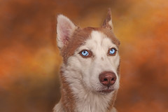 Scarlet (Cruzin Canines Photography) Tags: animal animals canon canoneos5ds canon5ds canine 5ds eos5ds closeup portrait studio indoors inside scarlet husky alaskanhusky siberianhusky dog dogs domestic domesticanimal mammal pet pets cute pretty bakersfield california kerncounty