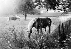 (Armine Abrahamyan) Tags: horse explore beautiful natur nature landscape landschaft horses holidays photographie photography photograph best amazing cute blackandwhite black white monochrom bw nikon nikor nikkor nikond300 nikond300s deutschland grass plants plant pflanze pferde pferd baum bäume tree trees