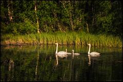 Svanfamilj (Jonas Thomén) Tags: svan swan svanar swans svanungar cygnets birds fåglar gräs grass spegling reflection lake sjö träd trees forest skog sandåsen