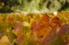 Leafs on Concha Y Toro Vineyard - Lo Canas - Chile (Gilberto Russo) Tags: leafs folhas conchaytoro vineyard viña vinicola vinhedo chile gilbertorusso nikon d5100