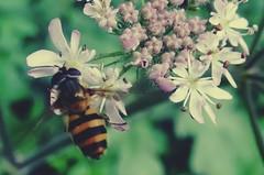 Art? (Bricheno) Tags: schottland szkocja scotland scozia escocia escòcia écosse scoția 蘇格蘭 स्कॉटलैंड σκωτία bricheno renfrew insect bug hoverfly macro