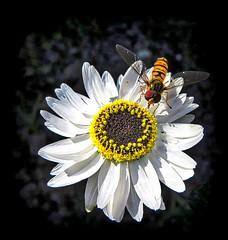Helipterum Roseum Pierrot (Feathering the Nest) Tags: helipterumroseumpierrot flower garden summer july 2017 everlastingpierrot strawflower overfly insect macro tiny dried crispy