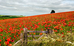 Sea-of-Red (petefoto) Tags: poppies red gate field landscape wiltshire lee09sgrad nikond810 seaofred remember opium seeds summer peace warminster hills countryside england
