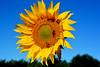 l'été est bien là France_5687 (ichauvel) Tags: tournesol sunflower jaune yellow abeilles bees cielbleu bluesky exterieur outside plateauderiez alpesdehauteprovence provence france southoffrance fleur flower flore nature été summer juillet july getty