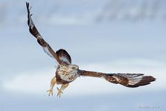 Lift off (Earl Reinink) Tags: hawk raptor winter snow bird animal bif wingsinmotion twighlight roughleggedhawk buteolagopus earl reinink niagara taidraudoa