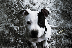 What'cha Doin? (Rahla Lee) Tags: pet dog black white pitbull puppy cute loving monochrome blackandwhite portait