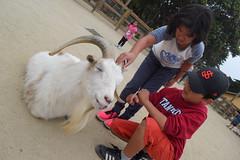 DSC_0093 (rlnv) Tags: california bayarea sanfrancisco sanfranciscozoo zoo nikond3300 1855mmf3556gvrii animal walter caitlin goat