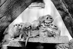 Meerkats Party (Jannik Peters) Tags: zoo essehof meerkats many party funny sony fe a7 ii samyang 135 135mm f2 walimex rokinon