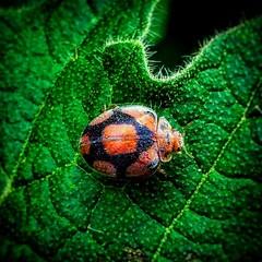 Ladybug (abhishekskumar) Tags: ladybug bug insect green greenlovers orange planetearth nature naturecoolnarure iger indi india explore travel travels