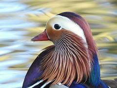Mandarin duck ( male) (PhotoLoonie) Tags: duck mandarinduck mandarinduckdrake feathers colours colourful wildlife nature