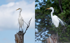 Great Egret / Grande Aigrette (Steve Troletti™ Nature & Wildlife Photographer) Tags: ardea ardeaalba ardeidae pelecaniformes sepaq snapqc bird birding boat canada ilesdeboucherville kayak montreal national nature parc park photography quebec tree water wilderness