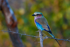 Lilac Breasted Roller (John White) Tags: africa balule lilacbreastedroller phalaborwa limpopo southafrica za