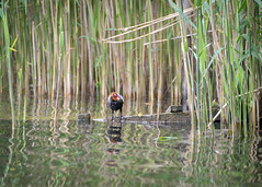 should I stay or should I go? (Emma Varley) Tags: coot chick baby lake water reeds ripples reflection wood alone surrounded uncertain southwatercountrypark westsussex