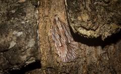 Pedois cosmopoda (dustaway) Tags: arthropoda insecta lepidoptera depressariidae pedois pedoiscosmopoda australianmoths australianinsects barkmoth tullerapark tullera northernrivers nsw nature australia