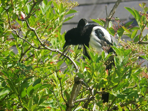 Magpie, 2017 Jul 01 -- photo 2