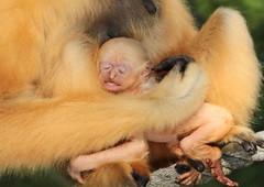 yellow cheeked gibbon artis BB2A9026 (j.a.kok) Tags: gibbon mammal monkey mensaap artis asia azie goudwanggibbon yellowcheekedgibbon zoogdier dier animal aap ape nomascusgabriellae