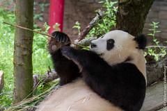 IMG_0478.jpg (wfvanvalkenburg) Tags: ouwehandsdierenpark panda familie