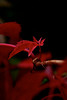 161002_parthenocissus_01 (Diana Mara H.) Tags: red plants vines parthenocissus autumn