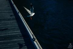 (lokthefish) Tags: lakemacquarie newcastle bird seagull ©lachlanburrell