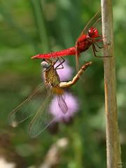 2017_11084 (niek haak) Tags: dragonfly dragonflies odonata libel crocothemiserythraea vuurlibel copula mating paring