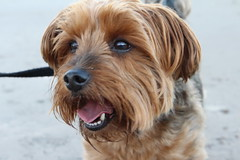 What a Handsome Lad (Garden_Gnome) Tags: dog dogs beach walkies walk yorkie arthur pet yorkshire terrier