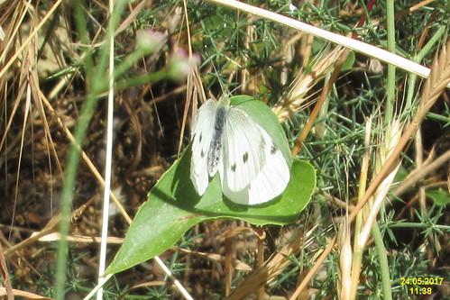 cf. Small white (MakGi)