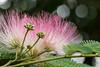 Fleur d'Albizia (Robert 45) Tags: rose bokeh albizia fleur vert noir foncé olivet centrevaldeloire france fr