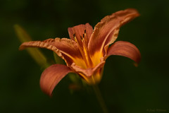 Tiger Lily (Lindaw9) Tags: tiger lily garden daylily summertime northern ontario flower bud