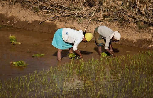 Women Plant the Rice