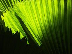 We go green (STEHOUWER AND RECIO) Tags: green leaves tropical groen light shadows nature flora leaf macro philippines pilipinas natuur photo lines shapes backlight ecology