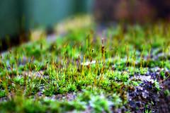 Macro Moss Spores (GarethD83) Tags: canon amateurphotography macro moss spores