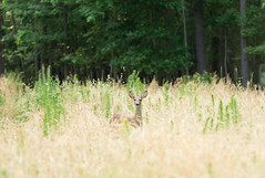 backyard friend (Ginny Williams Photography) Tags: deer fawn grass whimsical nature wildlife northcarolina animal wild northcarolinaphotographer northcarolinaphotographers raleigh raleighncphotographer trees forest wilderness naturallight