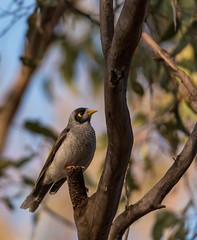 Noisy Miner (Matt OZW) Tags: victoriaboxironbarkforest birds noisyminer okeeferailtrail australia places manorinamelanocephala