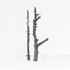 Stand Together (Aaron Bieleck) Tags: hasselblad500cm 120film analog 6x6 square film filmisnotdead hasselblad mediumformat wlvf bw blackandwhite tree timberline snowshoeing treeportrait oregon pnw pacificnorthewest outdoors highkey 150mmct