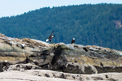 DSC_5812 (whibbles) Tags: washington pnw mountains seattle hiking rattlesnakeledge orcas whales orcasisland eagles wildlife