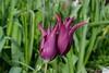 Zweisamkeit (Sockenhummel) Tags: altensteinstrase kga fuji x30 fujifilm finepix fujix30 tulpe tulpen paar zweisamkeit tulips frühling spring magenta grün wiese anlehnen zwilling