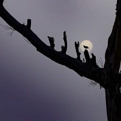 The Faded Sun !! (rick_toor) Tags: outdoor ricktoor 2017 india fadedsun tree moon silhouette colors indian punjab asia myna birder wildlifephotography naturephotography nature wonderful sunset sun amazing tamron canoneos6d canon flickr
