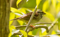 7K8A9631 (rpealit) Tags: scenery wildlife nature swartswood state park whitethroated sparrow bird