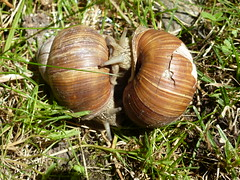 True Love (sangiovese) Tags: love liebe amore amour snail schnecke lumaca natur nature natura