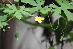 Flower of better melon. (Mou.Saha) Tags: flower yallow