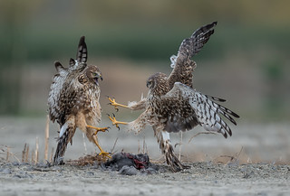 Northern harriers and kung fu fighting