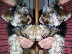 Two Flo's Yorkie Poo Dog (@oakhamuk) Tags: two flos yorkiepoo dog