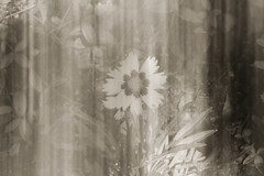 IMG_8599 (rebecca haegele photography) Tags: sayengardens mercercounty nj blackandwhite flower