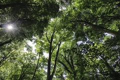 Leafy canopy (++sepp++) Tags: landschaft bäume trees heubach badenwürttemberg deutschland de gegenlicht backlight backlit grün green landscape natur nature sonnig sunny legacy