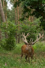 Edelhert (El sa) Tags: edelhert hogeveluwe nederland netherlands nationaalpark nationalpark