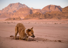 Stray dog digging a hole in Wadi Rum (JoshyWindsor) Tags: landscape desert travel fujinonxf1855mmf2840 wadirum dog fujifilmxt10 jordan middleeast digging holiday animal