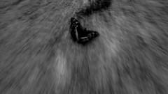 Schmetterling ([Alan]) Tags: intentionalcameramovement icm buchenwald butterfly bw blackandwhite